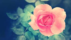rose pink 3 sm